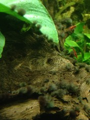 Algen in je aquarium pak het aan en los het op for Algen im aquarium