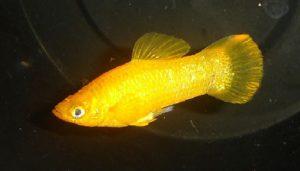 De Gouden Molly of golden Molly is een variant van de Black Molly