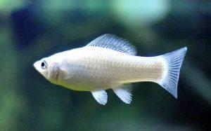 Zilvermolly of Silver Molly is een variant van de black molly