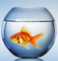 Een goudvis hoort niet thuis in een vissenkom, maar in een aquarium of vijver