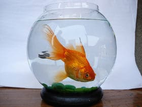 Goudvissen passen niet in een vissenkom. Het is heel erg zielig voor ze.