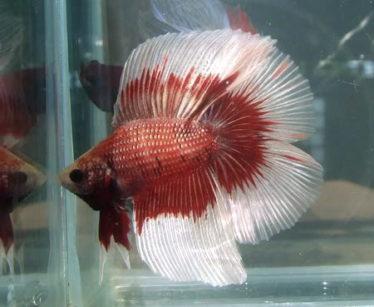 De Rondstaart Betta Splendens (Round tail Betta) is één van de populaire aquarumvissen