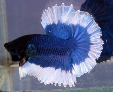 Een Betta Splendens (Siamese Kempvis) spreidt zijn prachtige blauwe en witte vinnen