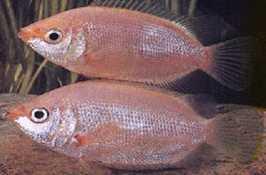 Een volwassen Zoenvis vrouwtje heeft een dikkere buik dan een Zoenvis mannetje