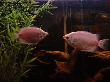 Twee roze Zoenvissen in een aquarium