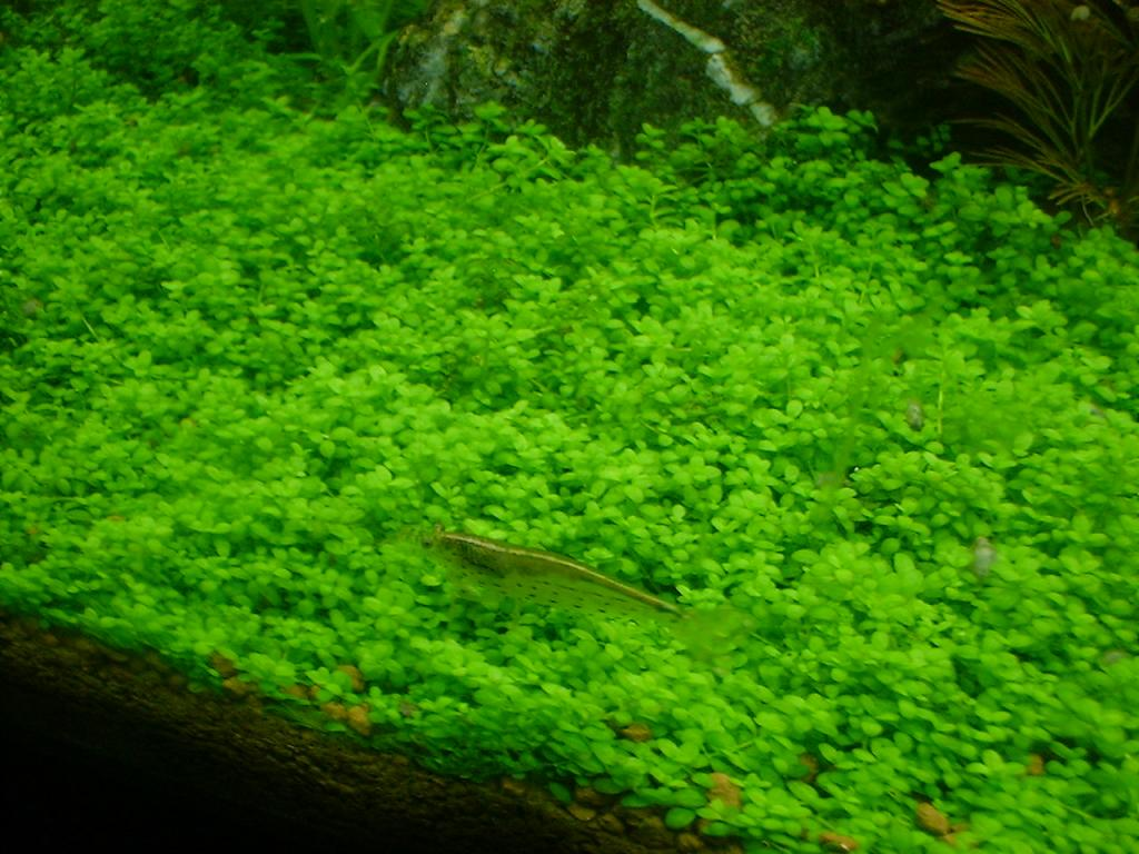 grote aquariumplanten