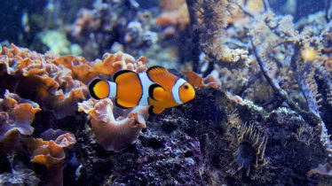Anemoonvis in een zoutwater aquarium (zoutwatervissen)
