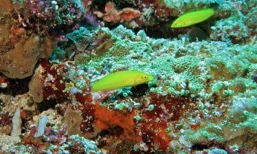 Gele lipvis