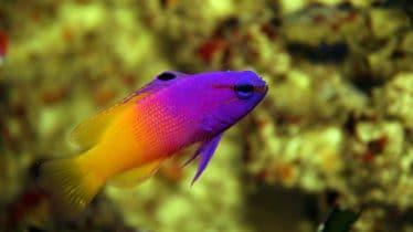 Koningsgramma in een zoutwater aquarium (zoutwatervissen)