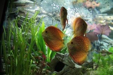 Een mooi aquarium met mooie discusvissen is een perfecte combi