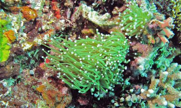 Toortskoraal - Euphyllia Glabrescens