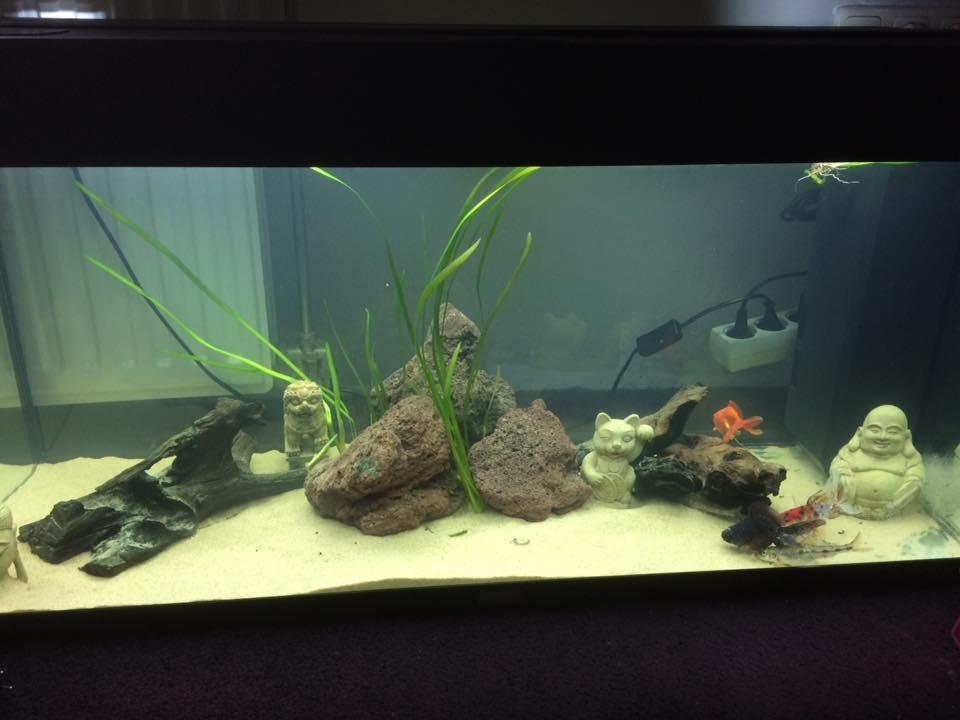 goudvis   Aquariumfans