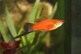 Aquarium vissen zoals de Zwaarddrager ofwel Xiphophorus Helleri zijn qua onderhoud prima te doen