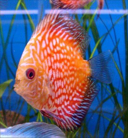 grote aquariumvissen