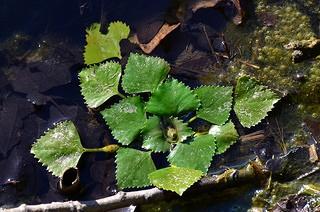 Drijfplanten aquariumTrapa natans