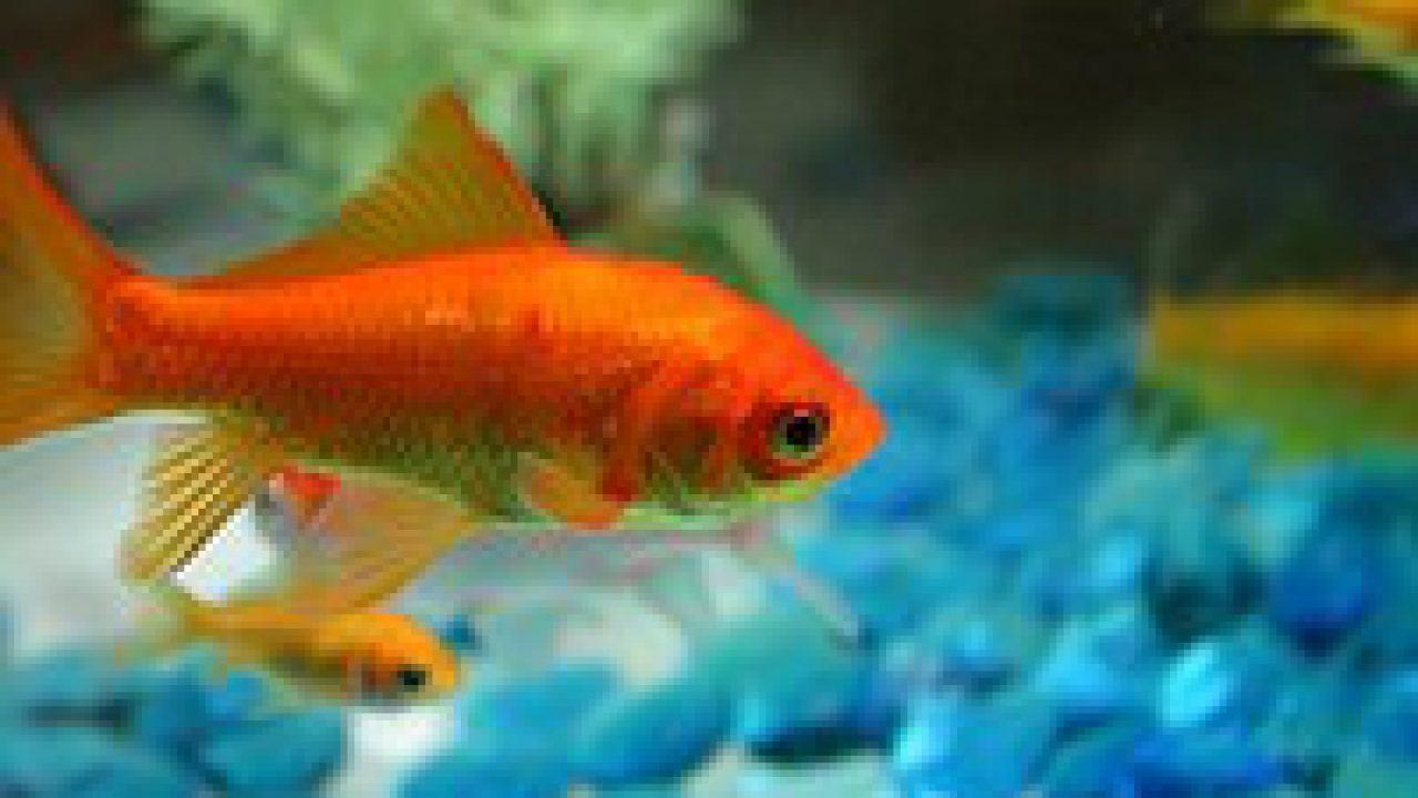 Goudvissen in het aquarium? Tips en wat je moet je weten!