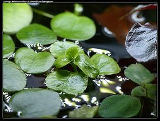 Drijfplanten Limnobium laevigatum