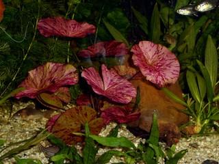 Rode lotus rode tijgerlotus