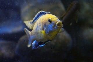 cichlide tropische vissen