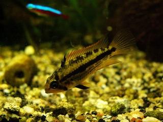 cichlide aquarium