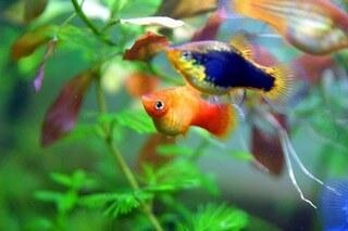 starters vissen aquarium