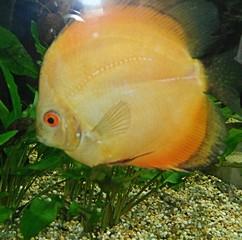 Bruine discusvis Symphysodon aequifaciatus axelrodi. De Bruine Discusvissen zijn de oorspronkelijke discusvis, de gekleurde discusvissen zijn hiervan afgeleid.