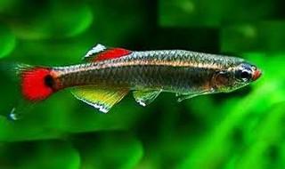 Aquarium vissen zoals de Chinese Danio ofwel de Tanichthys Albonubes zijn zeer geschikt voor beginners