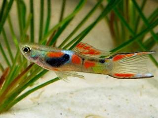 Aquarium vissen zoals de Endler gup ofwel de Poecilia Wingei zijn gemakkelijk te houden en planten zich ook gemakkelijk voort