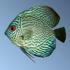 Groene discusvis Symphysodon aequifasciatus aequifasciatus. Groene Discusvisssen zijn zoals de naam al zegt enigsinds groen gekleurd.