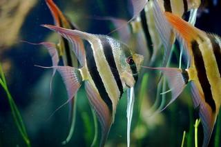 Maanvissen welke soorten zijn er allemaal for Schwarzer skalar