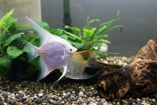Maanvissen kweken Pterophyllum maanvissen