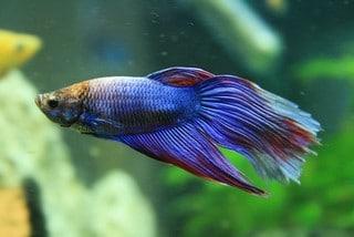 Aquarium vissen zoals de Siamese Kempvis ofwel de Betta Splendens kun je gerust houden, maar wel in een harem