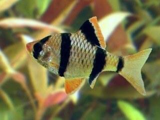 Aquarium vissen zoals de Sumatraan ofwel de Puntius Barbus Tetrazona hebben naast een mooi patroon ook een leuke vorm. Een aanrader om mee te beginnen.