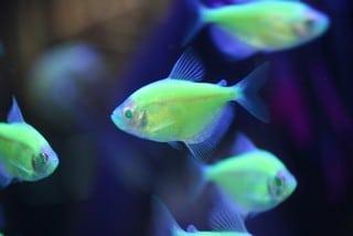 Genetische manupilatie vissen