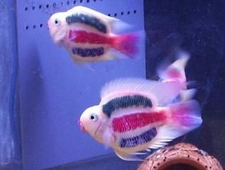 Getatoeëerde vissen