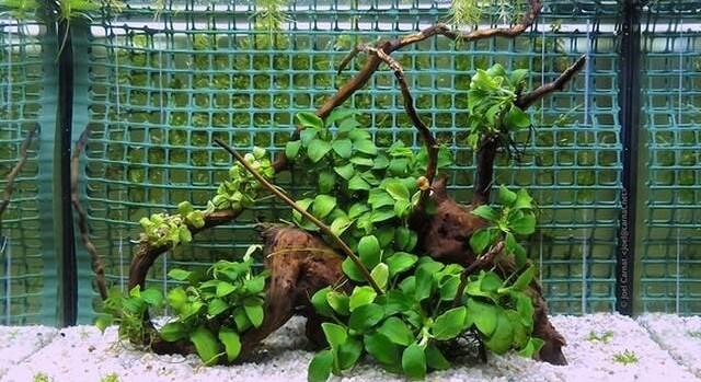waterplanten aquarium