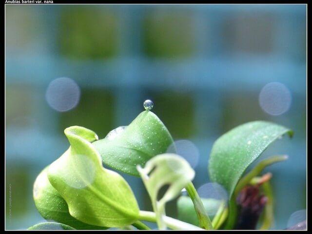 Anubias Nana is de kleine variant van de Anubias famillie. Een aquariumplant met prachtige leerachtige bladeren. Wel een langzame groeier.