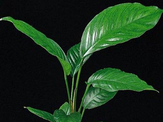 Anubias congensis heeft bladeren die tot wel 35 cm lang kunnen worden. Het is een langzaam groeiende aquariumplant die zich goed aan zijn omgeving aan past.