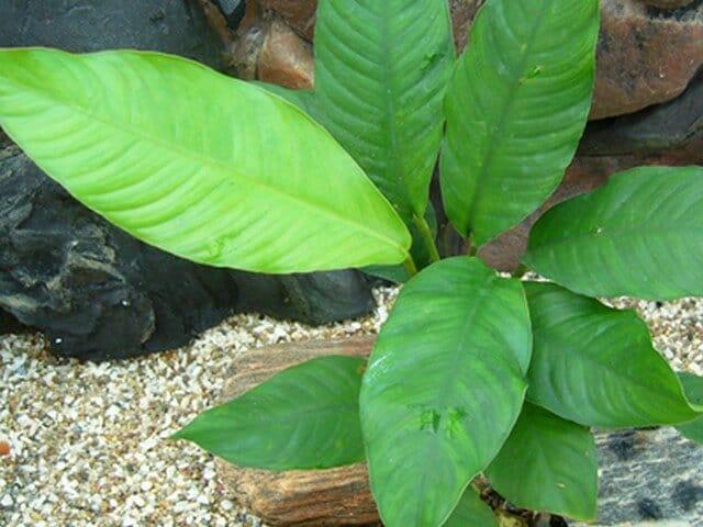 Anubias heterophylla heeft langere stelen en een blad in de vorm van een speer. Een van de mooiere aquariumplanten!