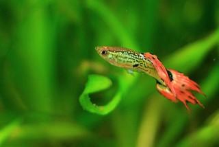 Aquarium vissen zoals de bekende Guppy ofwel de Poecilia Reticulata krijgen heel snel jongen.