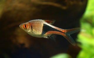 Aquarium vissen zoals de Kegelvlekbarbeel ofwel de Rasbora Heteromorpha zijn goede aquariumvissen om meet te beginnen.