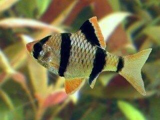 Sumatraan Puntius Barbus Tetrazona
