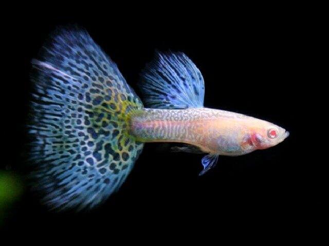 Guppen zijn de kroonjuwelen van het aquarium. Guppen hebben prachtige kleuren en zijn zeer geschikt voor aquarium beginners