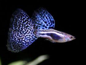 Guppy (Guppie) in je aquarium? Dit guppie heeft prachtige blauwe kleuren. Een genot om in je aquarium naar te kijken. Uren als het moet!