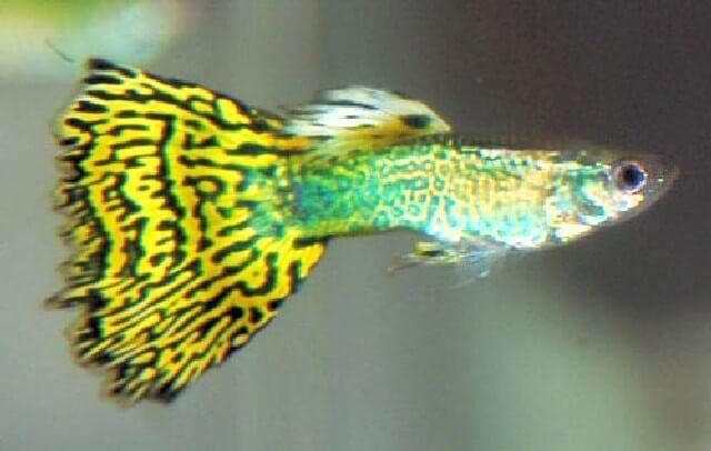 Guppy (Guppy's) kunnen geel zijn, of blauw, of groen, of rood. En allemaal fantastisch. Guppy's zijn gemakkelijke vissen dus zeker eens zelf proberen!