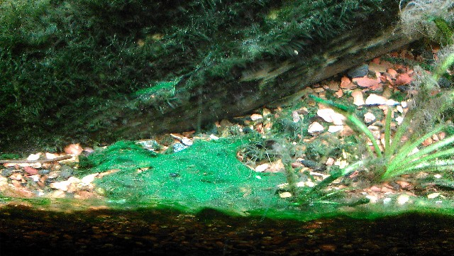 blauwe algen bestijden in je aquarium