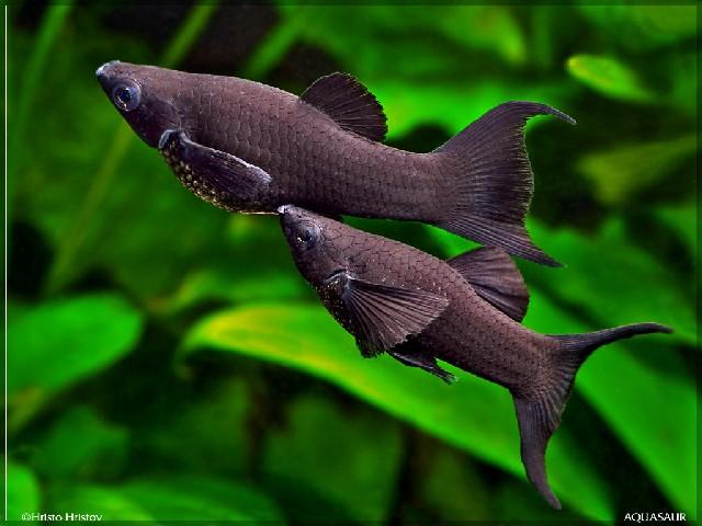 Black-Molly-mannetje en vrouwtje