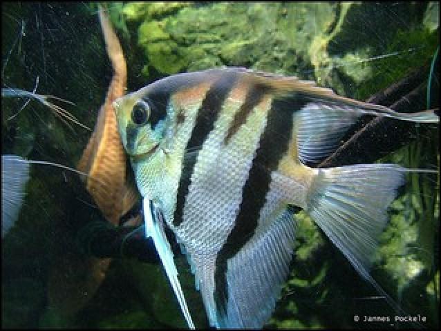 Black Mollies kweken? Die gaan niet samen met Maanvissen