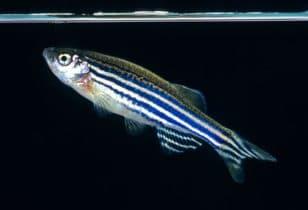Danio rerio is mogelijk geschikt voor een vissenkom
