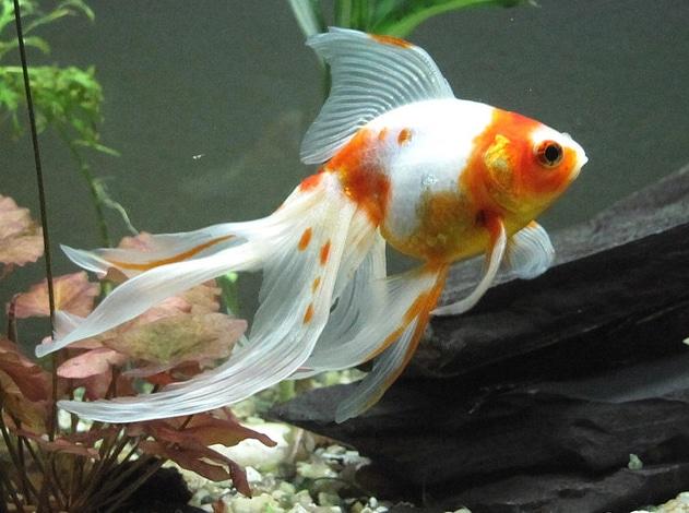 Sluierstaart wit met oranje